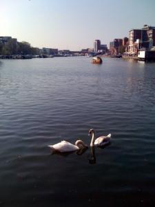 Swans on Brayford Pool