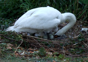 Hatching cygnets... see the one by the top of the swan's head