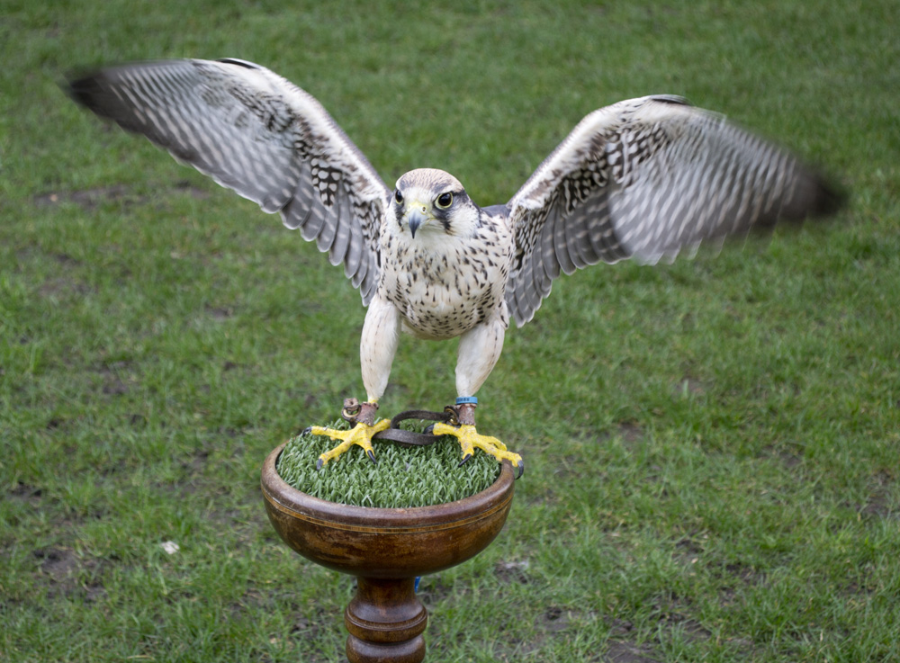 Birds of Prey at Lincoln Castle